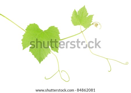 Green grape leaves isolated on white, clipping path included - stock photo
