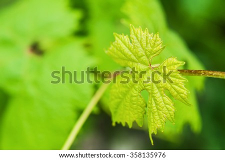 Green grape leaves. Macro image with small depth of field. Beautiful nature background