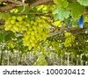 green grape on the branch - stock photo