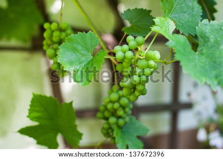 Green grapes hanging on branch in greenhouse - stock photo