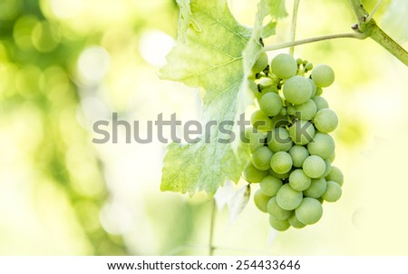 Green grapes in a sunny day; photo taken in Tuscany, Italy. - stock photo