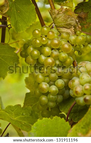 Green grapes on vine, vertical - stock photo