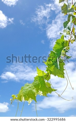 Green grapevine against blue sky - stock photo
