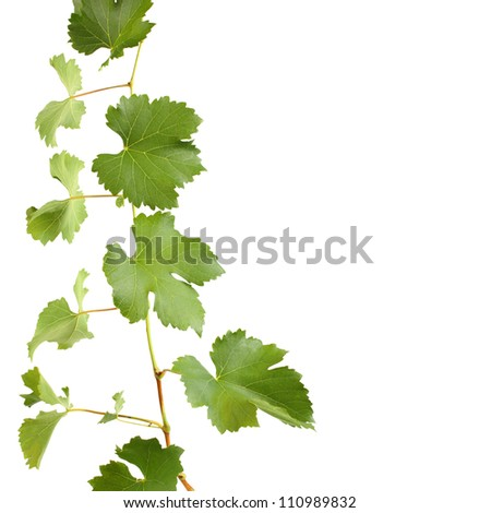 green grapevine leaves as border isolated - stock photo
