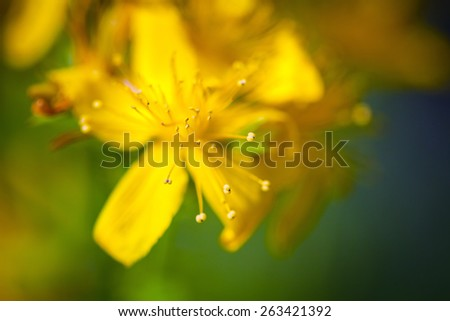 Green grashopper on yellow St Johns flowers - stock photo