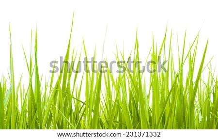 Green grass against white background. Morning - stock photo