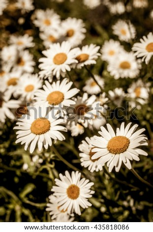 Green grass and chamomile flowers in the nature, meadow of flowers, spring floral landscape. - stock photo