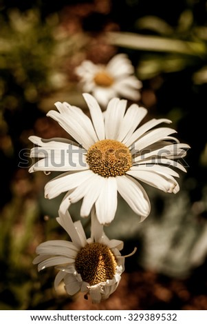 Green grass and chamomile flowers in the nature, meadow of flowers, spring floral landscapeGreen grass and chamomile flowers in the nature, meadow of flowers, spring floral landscape - stock photo