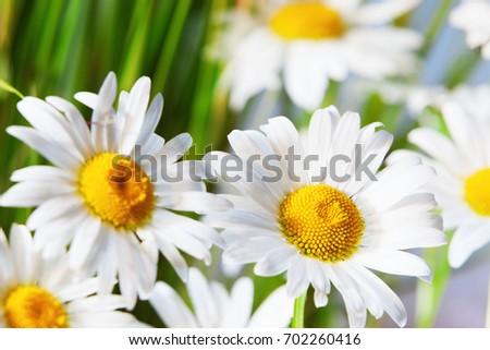 Green grass and chamomile in the nature