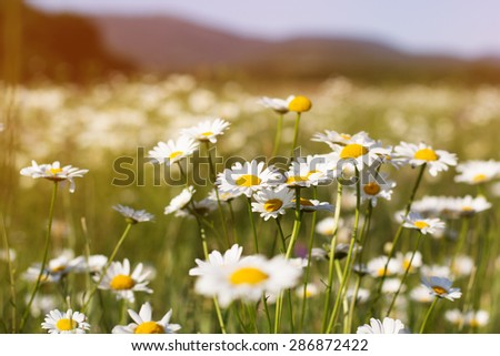 Green grass and chamomiles in the nature,summer time - stock photo