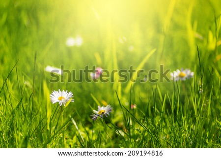 green grass and daisies, summer bokeh background