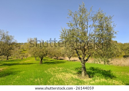 Green grass and olive trees