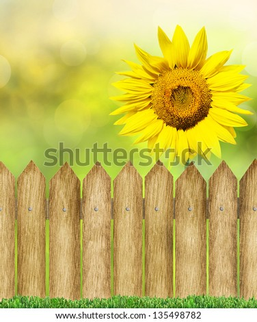 green grass and wood fence over bokeh with sunflower - stock photo