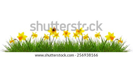 Green grass and yellow narcissus. - stock photo