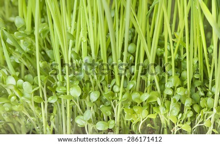 Green grass and young clover - stock photo