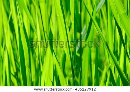 Green grass background/ green grass closeup - stock photo
