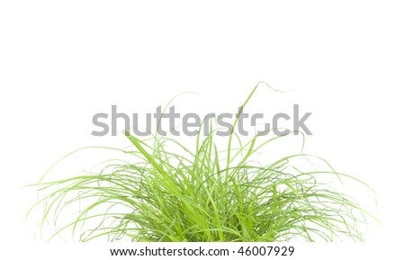 Green grass, cat grass, close up, on white background, studio shot