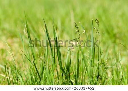 green grass closeup - stock photo