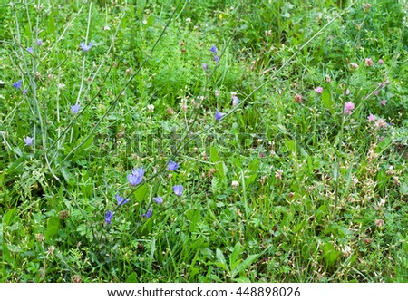 Green grass, clovers and chicory with water drops on it in rainy day. Grass background.  - stock photo