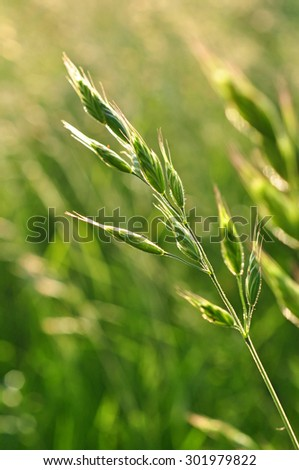 Green grass detail (Bromus Erectus - stock photo