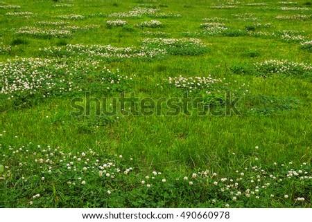 grass field texture. Green Grass Field Texture With Clover Flowers.