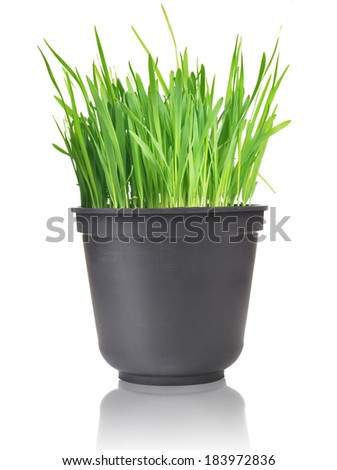 Green grass in pot. Isolated on white