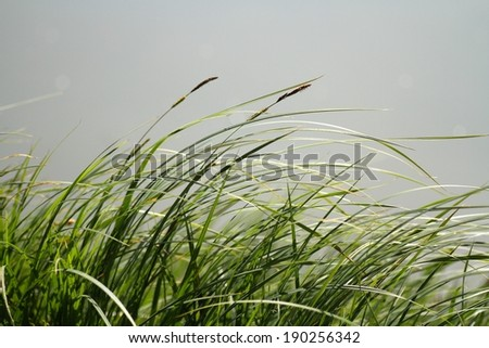 green grass on a windy day - stock photo