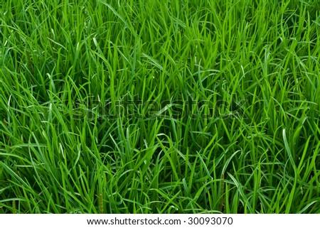 green grass texture - stock photo