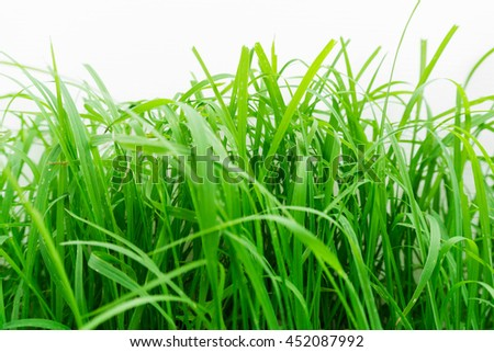 Green grass texture. Element of design / Green healthy grass texture / background of fresh spring green grass Isolated On White - stock photo