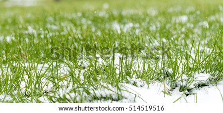 green grass under the snow