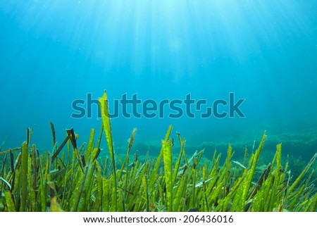Green Grass underwater blue background - stock photo