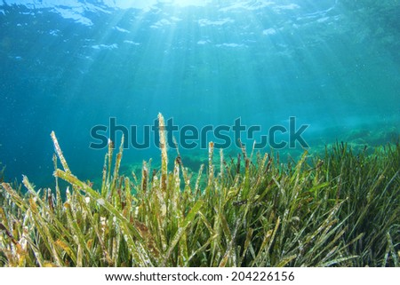 Green Grass Underwater Blue Sea seaweed - stock photo