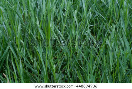 Green grass with blue reflection of sky and water drops on it in rainy day. Grass background. Green grass texture. - stock photo