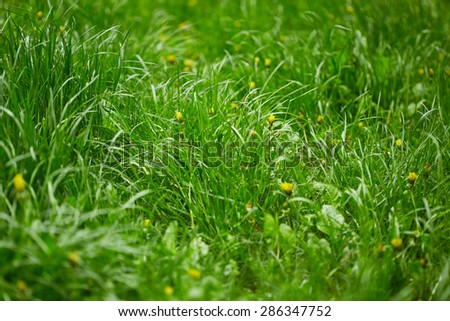 Green grass with dandelions. Nature background - stock photo