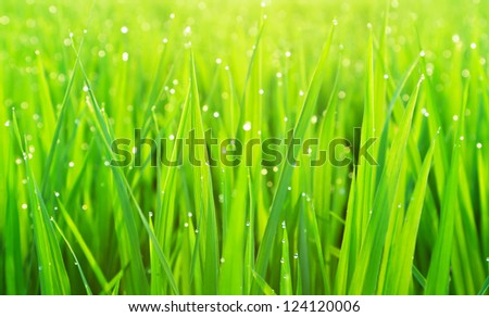 Green grass with dew, focus on few foreground blades - stock photo