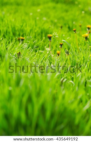 Green grass with drops of water and dandelions. Nature background - stock photo