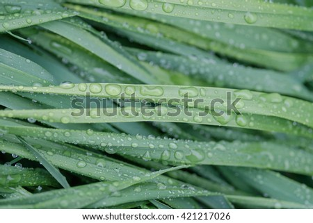 Green grass with water drops after rain.