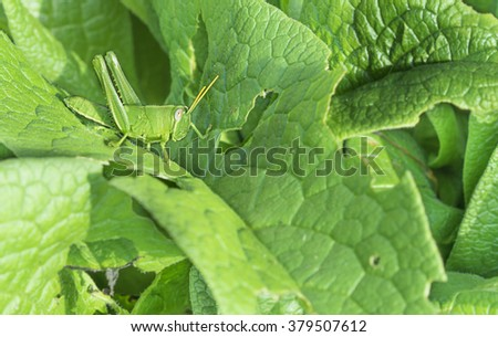 Green Grasshopper, a garden pest, camouflage on Comphrey Leaves in natural garden environment - stock photo