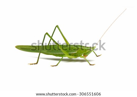 Green grasshopper isolated on a white background - stock photo