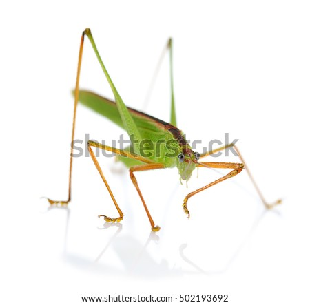 Green grasshopper isolated on white background