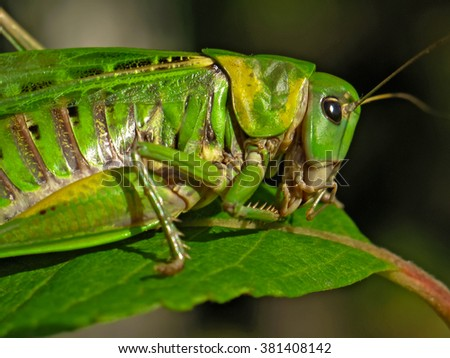 Green grasshopper on a leaf macro photo - stock photo