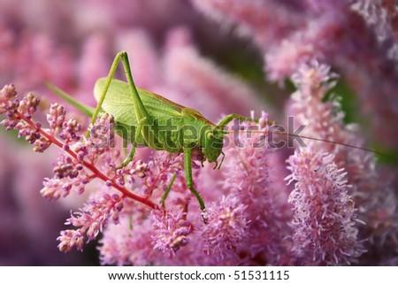 Green grasshopper on the pink flower #1 - stock photo