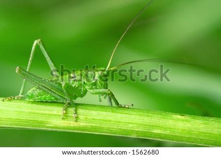 Green grasshopper ready to escape - stock photo