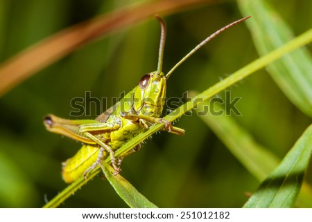 Green grasshopper sitting on a blade of grass