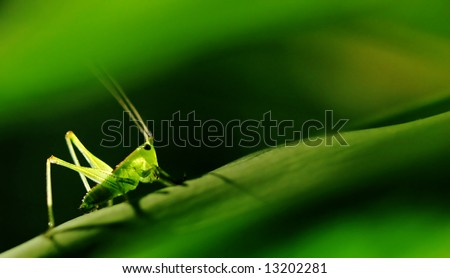Green Grasshopper with a green background. - stock photo