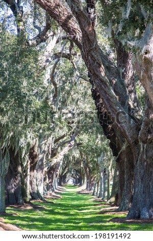 Green Grassy Lane Between a Row of Massive Old Oak Trees - stock photo