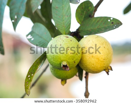 Green Guava fruit on the tree with natural sun light.