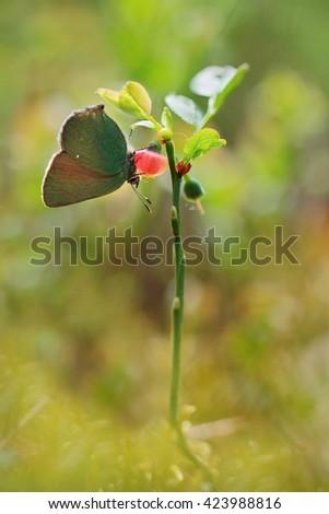 Green Hairstreak - Callophrys rubi - stock photo