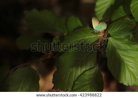 Green Hairstreak - Callophrys rubi - stock photo