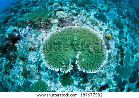 Green hard coral (Acropora hyacinthus), Green Island, Taiwan. - stock photo
